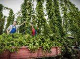 Badisches Bier mit Sandhäuser Seele: Welde No1 mit Sandhäuser Hopfen im Handel