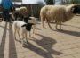 Schwarz-weißer Nachwuchs im Zoo HD: Junge Rhönschafe im Streichelzoo