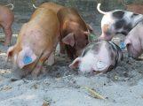 Afrikanische Schweinepest rückt näher – Vorsicht vor Einschleppung